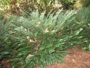 Cephalotaxus for Cephalotaxus harringtonia duke gardens