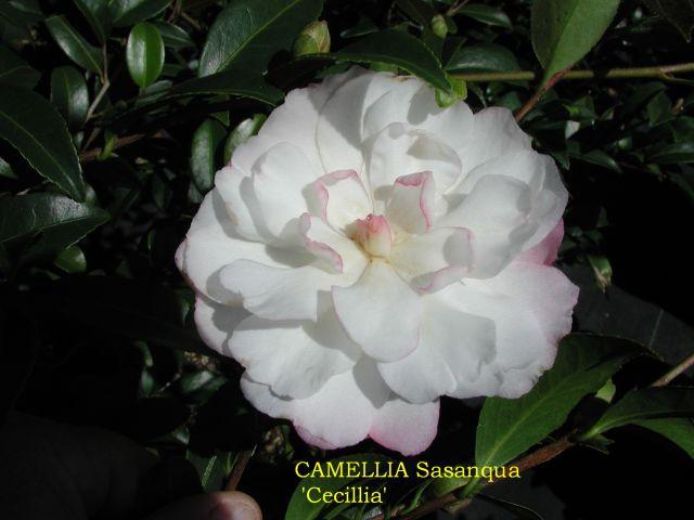 Camellia Sasanqua Varieties And Images