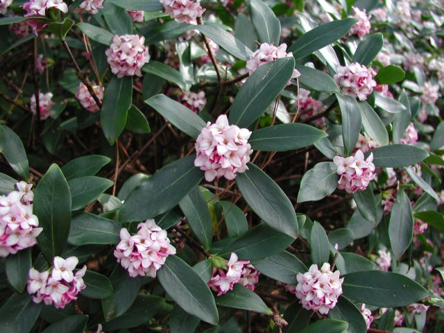 daphne odora varieties and images