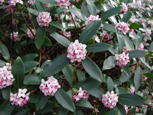 Daphne odora varieties and images greenleaf pink mightylinksfo