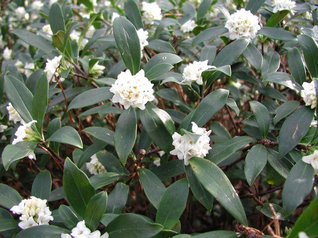 Daphne odora varieties and images greenleaf pink greenleaf white mightylinksfo