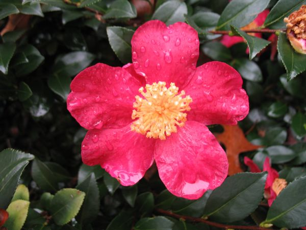 Camellia Sasanqua Varieties And Images